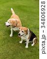 ビーグル犬 34806928