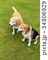 ビーグル犬 34806929