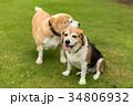 ビーグル犬 34806932