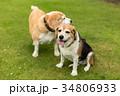 ビーグル犬 34806933