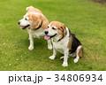 ビーグル犬 34806934