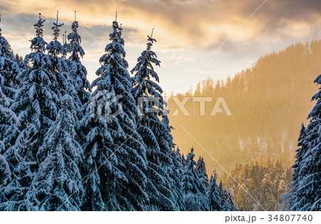 snowy spruce forest at gorgeous sunset 34807740