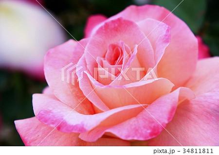 ピンクの美しい薔薇の花 34811811