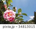 椿 花 絞り模様の写真 34813015
