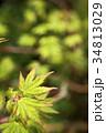 緑をバックにカエデの若葉 34813029