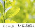 緑をバックに柿の葉 34813031