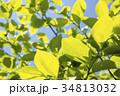 青空の下の柿の緑の葉 34813032