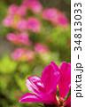 ミヤコツツジの花とボケ 34813033