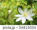 緑の中の白いテッセンの花 34813034