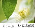 緑の葉と白いテッセンの花のアップ 34813035