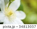 白いテッセンの花のアップ 34813037