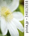 白いテッセンの花のアップ 34813038
