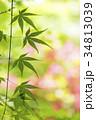 ピンクと緑をバックにカエデの葉 34813039