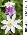 紫をバックに白いテッセンの花 34813041