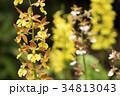花のボケをバックにエビネの花 34813043