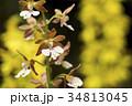 黄色いボケをバックにエビネの花 34813045