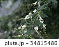 シロハギ 34815486