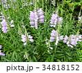 ハナトラノオは見た目によらず有毒。花言葉は「再び幸せが訪れる」。欧州では5月の花として愛されている 34818152