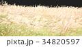 ススキの原っぱ 34820597