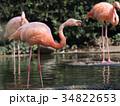 フラミンゴ 鳥 フラミンゴ科の写真 34822653