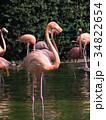 フラミンゴ 鳥 フラミンゴ科の写真 34822654
