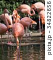 フラミンゴ 鳥 フラミンゴ科の写真 34822656