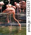 フラミンゴ 鳥 フラミンゴ科の写真 34822657
