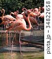 フラミンゴ 鳥 フラミンゴ科の写真 34822658