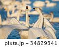 夕暮れの白鳥 (千葉県印西市 白鳥の郷) ※2017年1月撮影 34829341