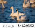 夕暮れの白鳥 (千葉県印西市 白鳥の郷) ※2017年1月撮影 34829352