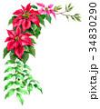 ポインセチア 植物 花のイラスト 34830290
