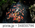 池の錦鯉 34830796