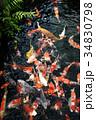池の錦鯉 34830798
