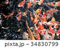池の錦鯉 34830799