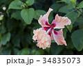 ハイビスカス オレンジフラミンゴ 花の写真 34835073