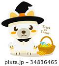 柴犬 犬 ハロウィンのイラスト 34836465