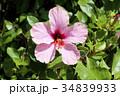 ハイビスカス 花 ピンクの写真 34839933