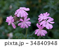 シレネ・ペンデュラ 花 植物の写真 34840948