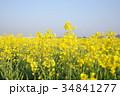 菜の花 菜の花畑 花の写真 34841277