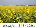 菜の花 菜の花畑 花の写真 34841291