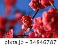 花 梅 紅梅の写真 34846787