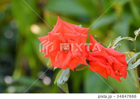 薔薇 オレンジ色 マジックモーメント 34847666