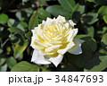花 バラ バラ科の写真 34847693
