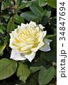 薔薇 薄黄色 34847694
