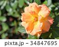 薔薇 オレンジ色 34847695