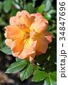 薔薇 オレンジ色 34847696