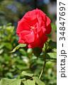 花 バラ バラ科の写真 34847697