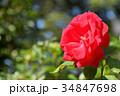 花 バラ バラ科の写真 34847698