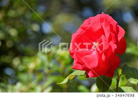 薔薇 赤色 34847698