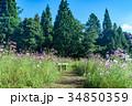 コスモス畑 コスモス 秋桜の写真 34850359